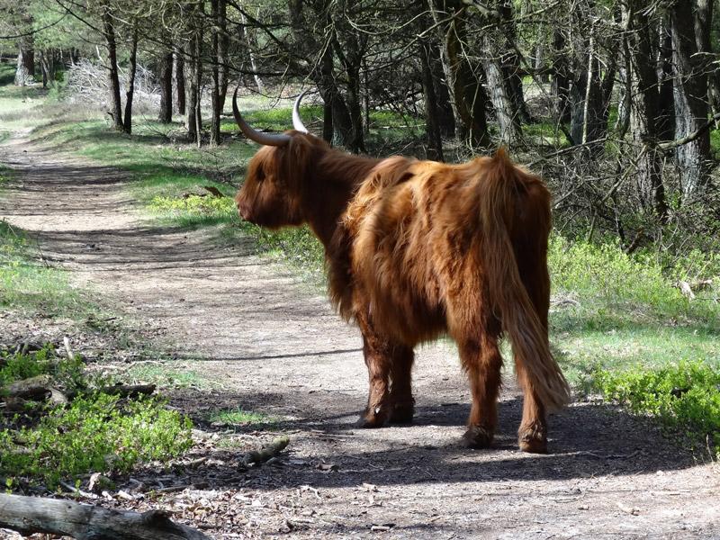 Wandelen op de Veluwe met een Schotse Hooglander